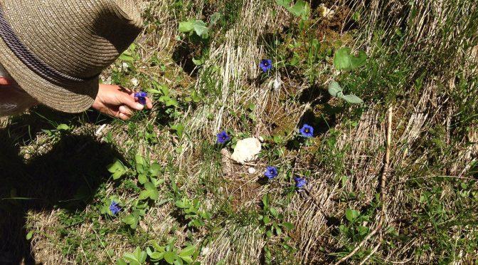 Eintauchen in die Welt der Alpenblumen